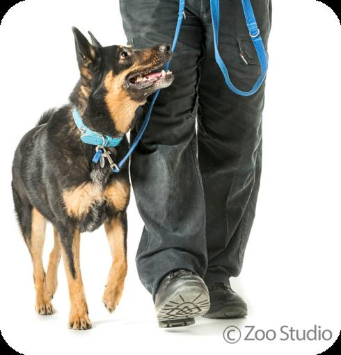 Dog walking on a lead